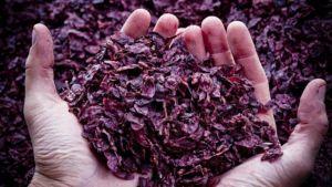 Vinacce di uva Sangiovese
